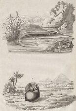 ANIMALS. Amphiuma (Aquatic Salamander). Ampullariidae (Pomacea snail) 1834