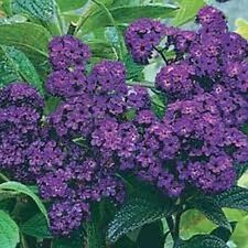 Heliotrope Marine Seed Heavily Vanilla Scented Small Shrub Purple Flower