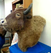 Large Bison Buffalo Shoulder Mount Taxidermy - Authentic