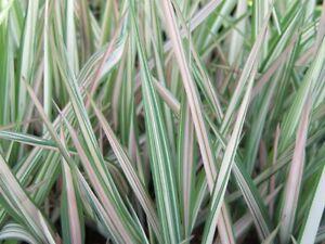 GARDENERS GARTER Candy Stripe Grass LIVE Plant Aquatic Pond Marginal Bog Phalari