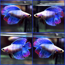 New listing Live Betta Fish Dragon Blue Purple Red Double Tail Dt Female C437
