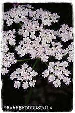 """Torilis japonica """"in posizione verticale SIEPE Prezzemolo' [EX. Oxfordshire] 100+ Semi"""
