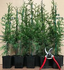 10X THUJA PLICATA GELDERLAND HEDGING TREES - SPECIMEN PLANTS - 40-60cm P9