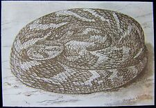 Glass Magic Lantern Slide PUFF ADDER C1900 DRAWING SNAKE REPTILE