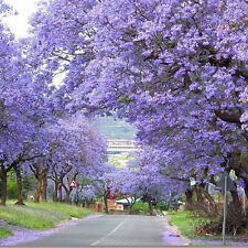 Lot/100Pc Purple Flower Fastest Growing Paulownia Tree Kiri Tomentosa Seeds Yard