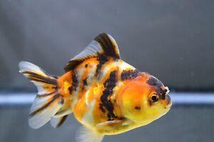 Live Calico Yuanbao Oranda Male Fancy Goldfish