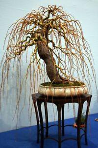 3 x Stecklinge Echte Trauerweide Salix babylonica  Pre Bonsai Baum