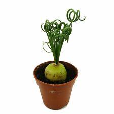 Albuca Spiralis Ø 5 cm R 3274 Spilly Cactus Piante Grasse Succulente Caudex