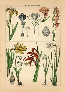 1885 YELLOW IRIS GIANT CROCUS GLADIOLUS LENT LILY Lithograph Print Willkomm