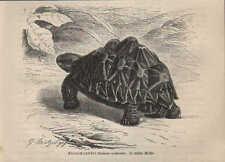 Druck 1878: Sternschildkröte (Testudo actinodes).