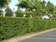50 Native Hornbeam Hedging Plants 40-60cm Trees Hedges,2ft,Good For Wet Ground