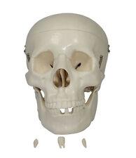 Modèle de crâne grandeur nature - Squelette Humain Anatomique