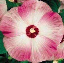 10 LUNA PINK SWIRL HARDY HIBISCUS Flower Seeds Pink & White *Comb S/H + Gift
