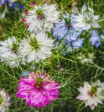 200 Samen JUNGFER IM GRÜNEN MIX Blau Rosa Weiß Nigella damascena Bauerngarten