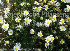 RÖMISCHE Kamille heilpflanze Anthemis Nobilis 100 seme