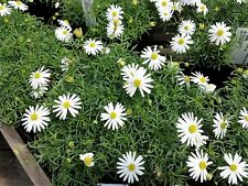 200 White Swan River Daisy Brachyscome Iberidifolia Flower Seeds *Comb S/H