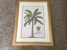 G. D. Ehret Banana Tree-Plate 16 Page 184  Framed Engraving Lithograpgh
