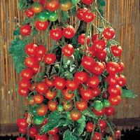 50 Tomato Seeds Sweet Million Tomato Seeds 65 days