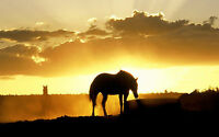 Framed Print - Silhouette of a Stallion and Sunset (Poster Picture Horse Steed)