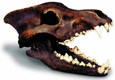 "Dire Wolf Canis Prehistoric Fossil Skull Model Replica with Stand 12"" x 7"" x 6"""
