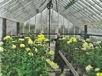 1908 Washington DC Gardener Green House Flowers Photo Dry Plate Glass Negative