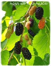 Morus Nigra Negra Mulberry » [ Prov. Alemania ] 100 + Semillas
