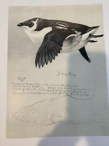 "Louis Agassiz Fuertes & The Singular Beauty of Birds, ""Dovekie"" Print"