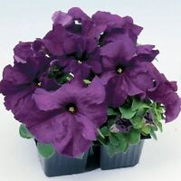 50 Pelleted Petunia Seeds Limbo Purple Petunia Seeds