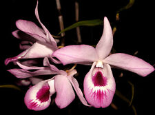 Dendrobium maccarthiae live plant  (1 live plant )  Very rare wild orchid spices