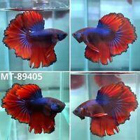 (MT-89405) Dark Copper Rosie Tail Halfmoon Live Male Betta Fish High Grade A+++