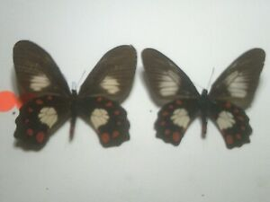 Insect/Butterfly/Moth Set Spread B7813 Rare Pair Papilio/Pachliopta polydorus