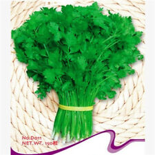 FD2481 Chinese Coriander Seed Vegetables Seeds ~1 Pack 150 Seeds~