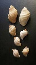 seven Thais (Nucella) lapillus, 18mm - 33mm, from Maine, all with operculum