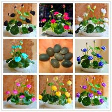 Bowl Lotus Seed Hydroponic Plants Aquatic Plants Flower Seeds 10Pcs