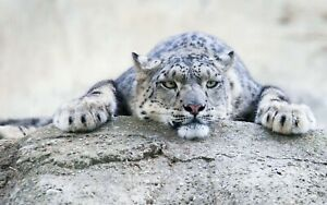 SNOW LEOPARD Animal Poster - Picture Poster Print Art A0 A1 A2 A3 A4