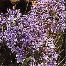 Agapanthus  Africanus Queen Ann Perennial Seeds