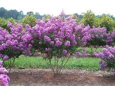 35+ LILAC CRAPE MYRTLE TREE /SHRUB /FLOWER SEEDS / DROUGHT TOLERANT PERENNIAL