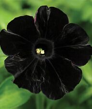 50 Black Petunia Seeds Containers Hanging Baskets Flowers Annual Seed Bloom 964