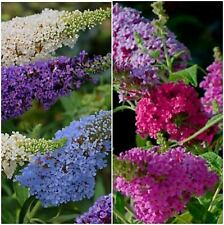 Scented Buddleia Buzz Mixed Bush Shrub Plants x 5