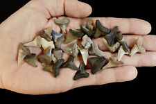 "Shark Tooth Fossils 3/4"" 28 Teeth Rough Natural Minerals Rocks Display Specimen"