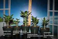 5 ADENIUM ARABICUM PLANTS DESERT ROSE THAI SOCO #J22 MKMK EMERALD CROWN NONGNAE