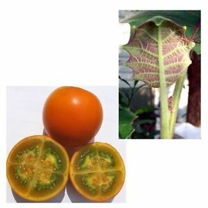 Exotische Früchte i! STACHELBLATT !i seltene Pflanzen selber aus Samen ziehen.