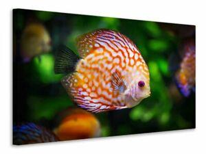 Leinwandbild Der Diskus Fisch