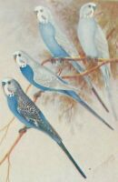 1933 1st Budgerigars in Bush and Aviary by Neville W Cayley, free EXPRESS w/wide