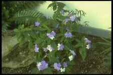 152005 Brunfelsia Pauciflora Eximia Yesterday Today & Tomorrow A4 Photo Print