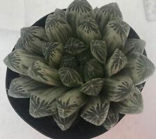"Haworthia cooperi ""Silver Swirls"" - A variegated cultivar"