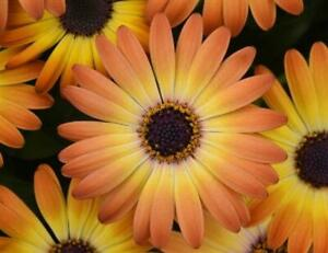 Osteospermum Cape Daisy 'Serenity Sunshine Beauty' Plug Plants Pack x6