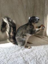 NEW Fox Squirrel Taxidermy Mount