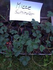 6 Stück Erdbeerpflanzen Mieze Schindler im Topf junge Pflanzen getopft Erdbeeren