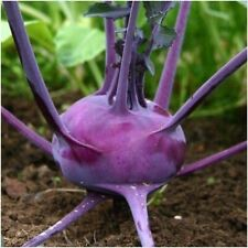 Purple Vienna Kohlrabi Seeds. Get These Seeds In Your Garden Or Raised Bed Today